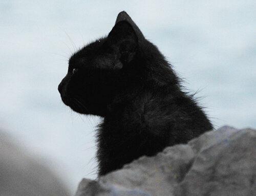 La campagne de capture et de stérilisation des chats errants se poursuit à Saint-Rémy