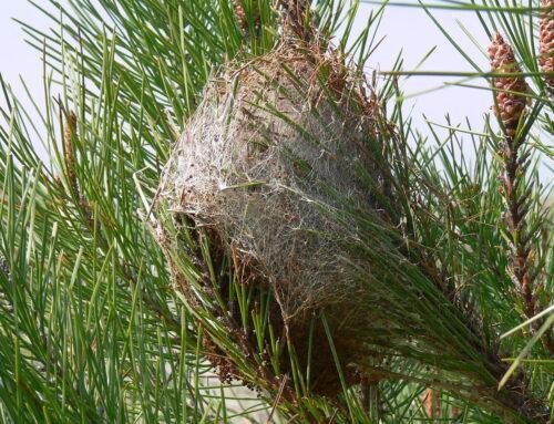 Traitement contre la chenille processionnaire du pin le jeudi 8 octobre